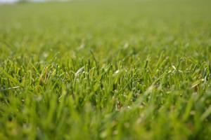 Seminte de gazon Toate soiurile de seminte de gazon provin din programe de cercetare bine organizate si testate in centre specializate, independente, care au validat calitatea acestora.