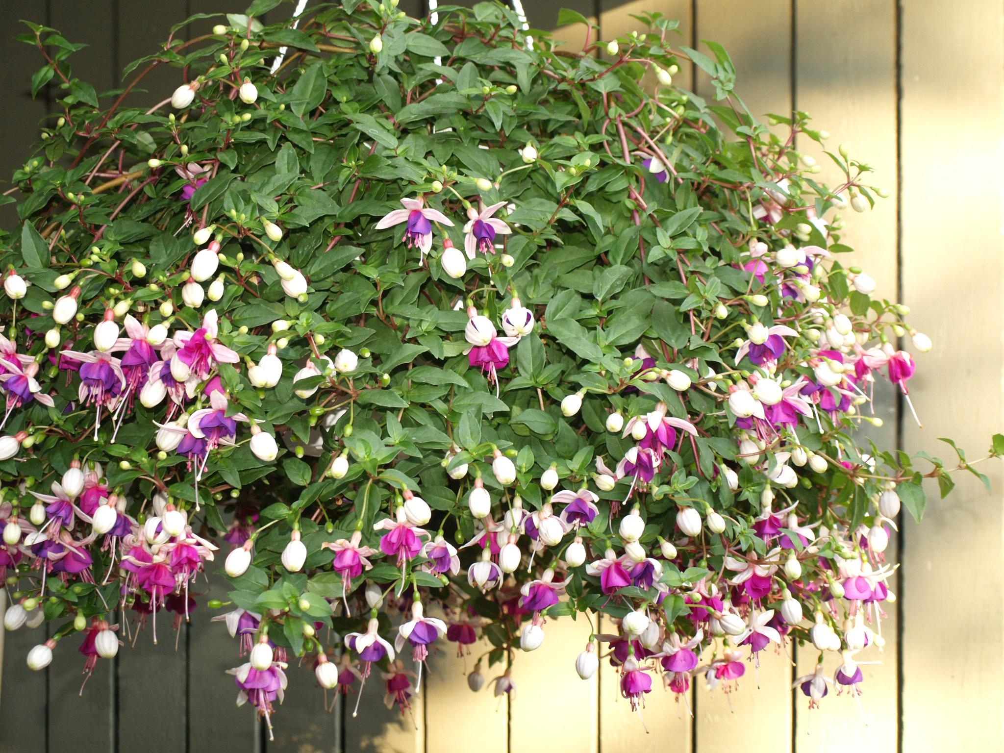 Цветущие ампельные цветы фото и названия