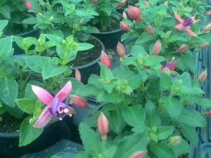 Fuchsia / Fuchsia