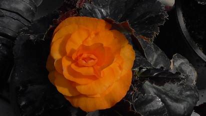 Begonie portocalie Begonie Begonii