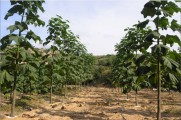 plantatie de copaci paulownia.jpg