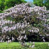 Paulownia - arborele minune
