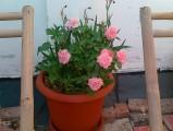 trandafirighiveci1.jpg