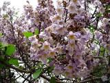 Paulownia  flori.jpg