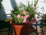 trandafirighiveci2.jpg