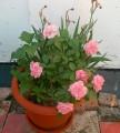 trandafirighiveci.jpg
