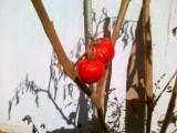 rosii_cherry_ghiveci3.jpg