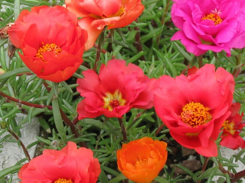 Portulaca - Portulaca, o floare solara