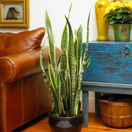 10 plante de interior care purifica aerul! - 10 plante de interior care purifica aerul!