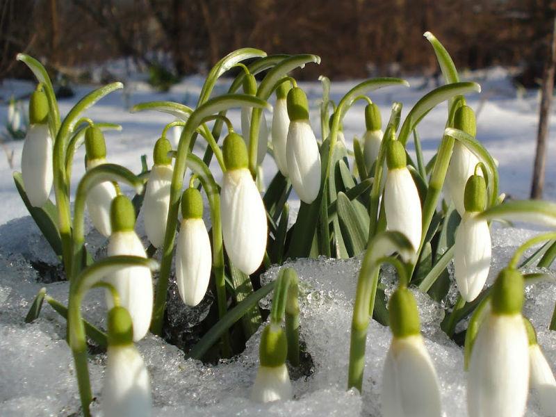 Ghiocei in zapada - Luna februarie în gradină – ce ai de făcut?
