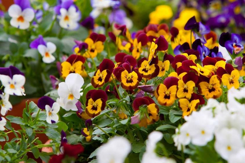 Panselute - Când toamna începe să se așeze peste grădină ce ai de făcut la începutul