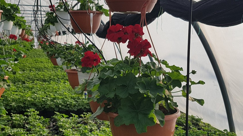 Mușcatele, florile de suflet ale românilor - Mușcatele, florile de suflet ale românilor