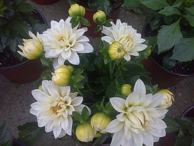 Dalie  - Daliile, plantele ideale pentru amenajarea rapida a unor gradini superbe!