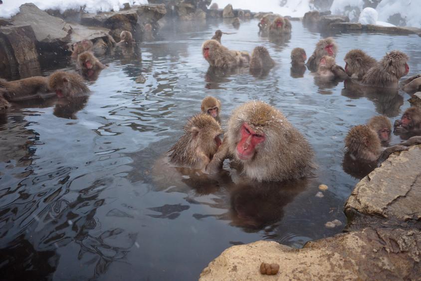 Maimutele din Parcul Jigokudani pe valea raului Yokoyu - izvoare geotermale - Energia geotermala ca sursa