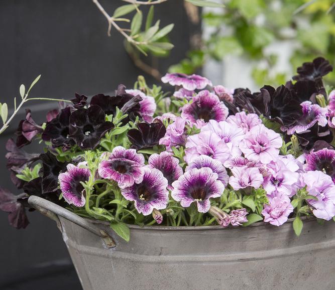 Petuniile flori ideale pentru ghivece suspendate in sezonul cald - Petuniile flori ideale pentru ghivece suspendate