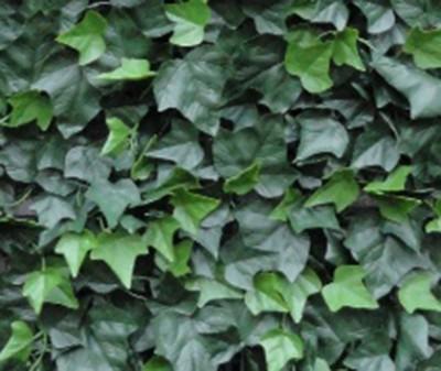 Hedera Helix  - Green wall artificial