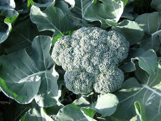 Broccoli - Ce plantam la inceputul toamnei?