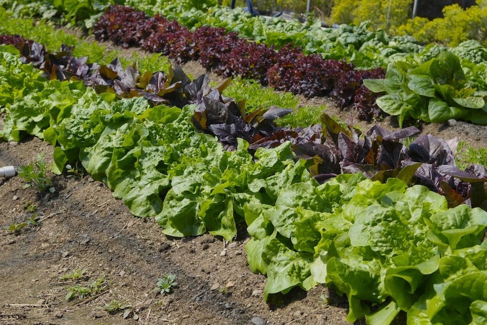 Salata verde - Ce plantam la inceputul toamnei?