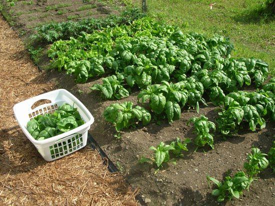 Spanac - Ce plantam la inceputul toamnei?