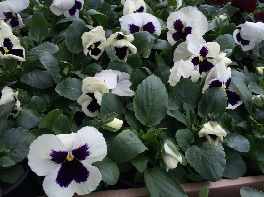 Panselutele flori colorate chiar si iarna pe ger si zapada - Panseluțele flori colorate chiar și