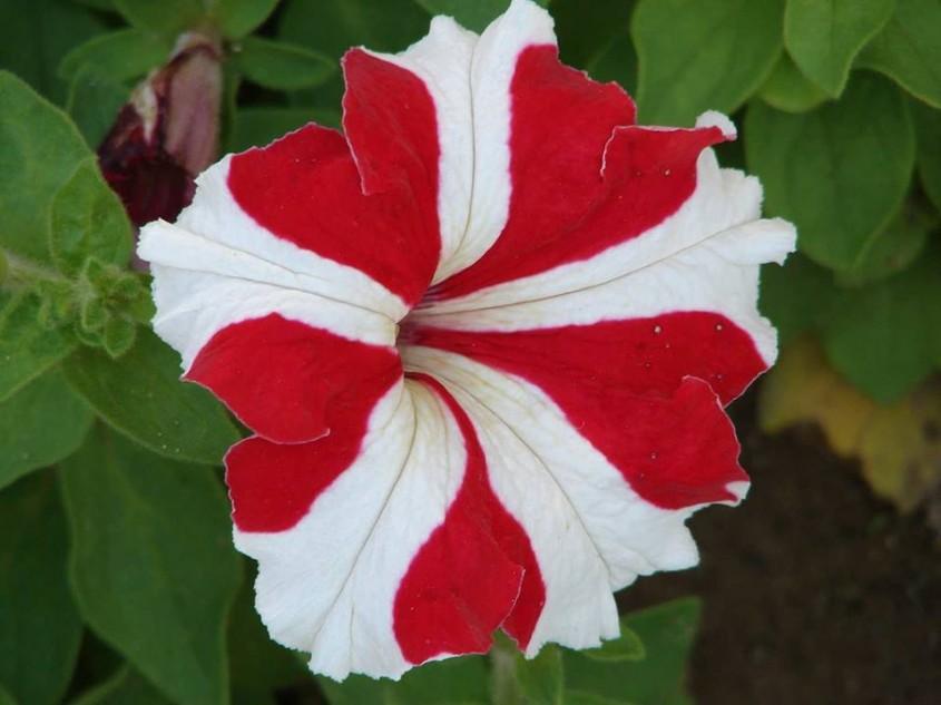 Petunii - Petuniile, flori ideale pentru ghivece suspendate in sezonul cald