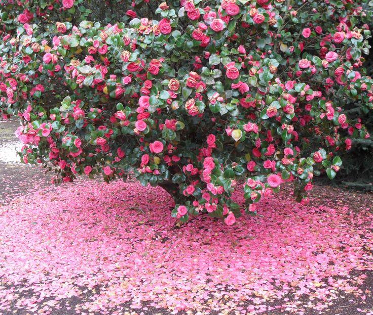 Curiozitati in amenajari exterioare care sunt diferentele dintre un arbust si un tufis - Curiozitati in
