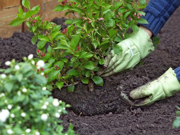 Despre arbustii ornamentali - Despre arbustii ornamentali