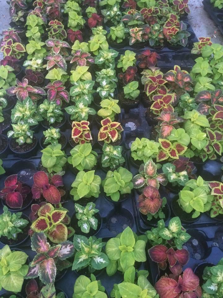 Coleus o planta nepretentioasa cu frunzis deosebit de frumos - Coleus o planta nepretentioasa cu frunzis