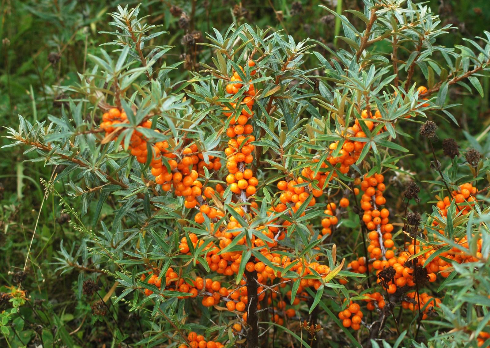 Arbustul de catina - Curiozitati in amenajari exterioare care sunt diferentele dintre un arbust si un