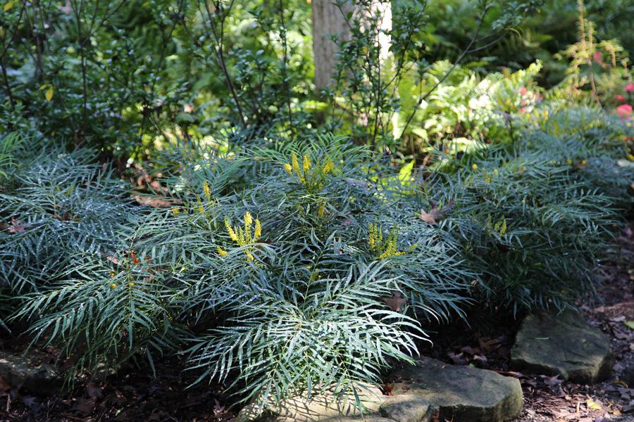 Mahonia Soft Caress - Curiozitati in amenajari exterioare care sunt diferentele dintre un arbust si un