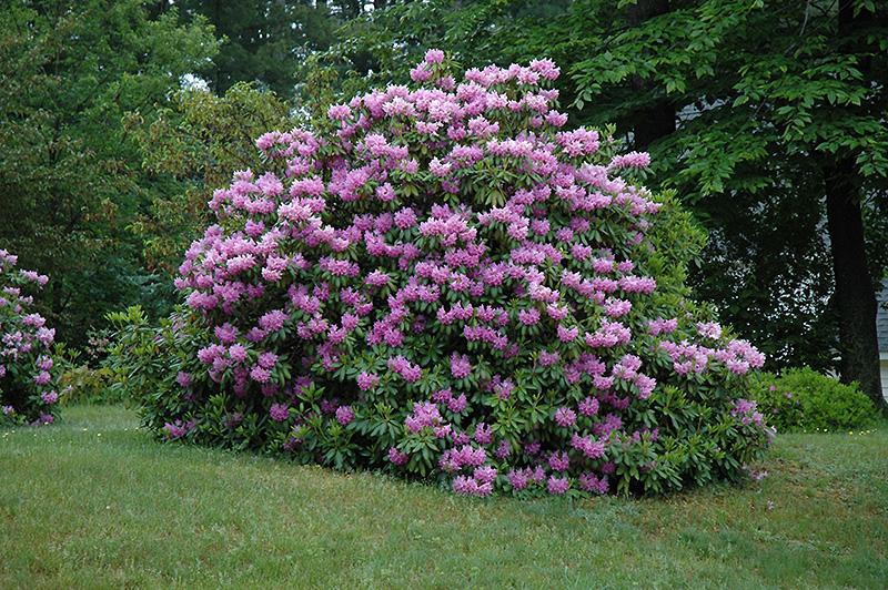 Rhododendron carawbiense - Curiozitati in amenajari exterioare: care sunt diferentele dintre un arbust si un tufis