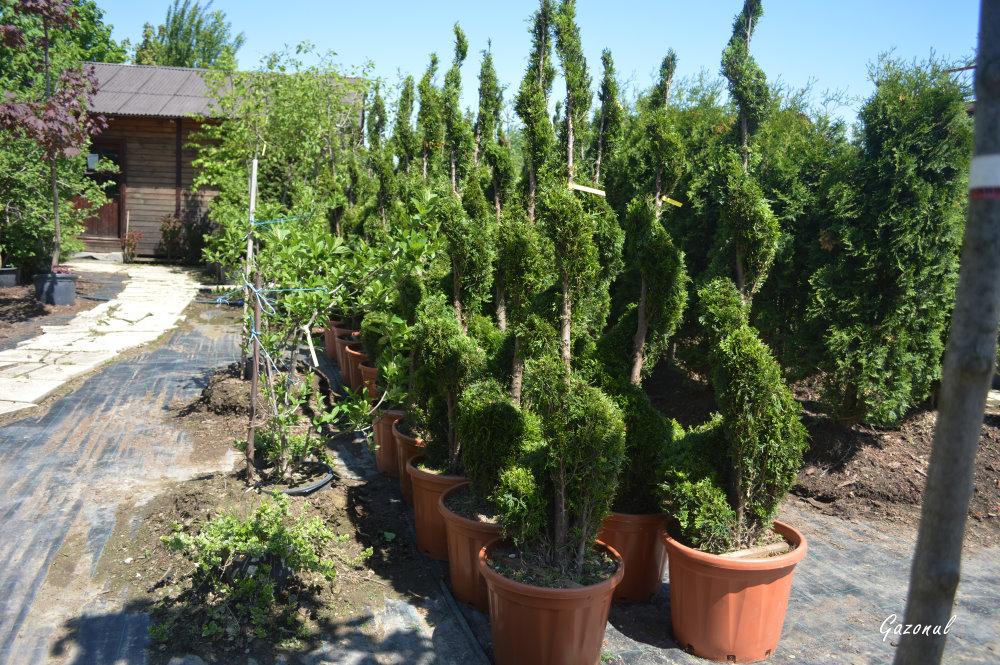 Plante ornamentale pentru gradina gazonul for Plante decorative