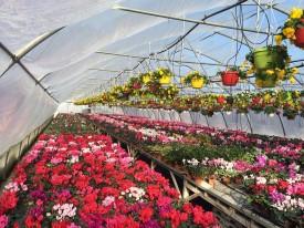 Biosolaris - Flori la ghiveci - BIOSOLARIS