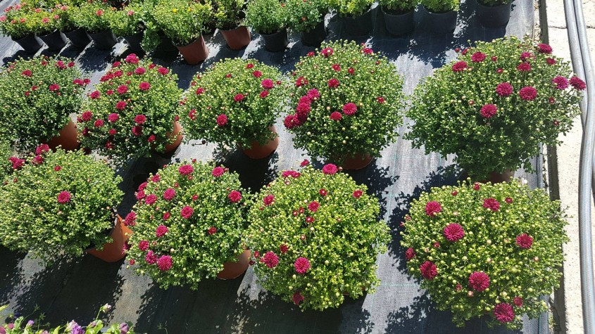 Ce-ar fi toamna fara crizanteme? - Ce-ar fi toamna fără crizanteme?