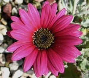 Margareta africana - Rocărie, flori și pietriș - 3 elemente pentru un design unic în grădină