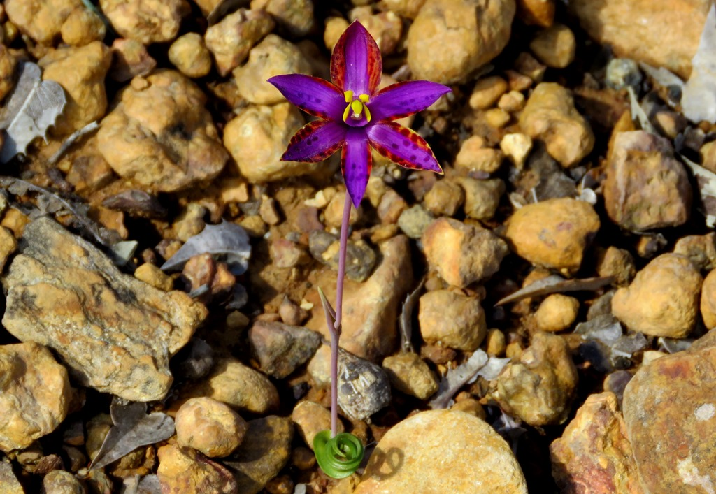 Orhideea Regina din Saba - Rocărie flori și pietriș - 3 elemente pentru un design unic