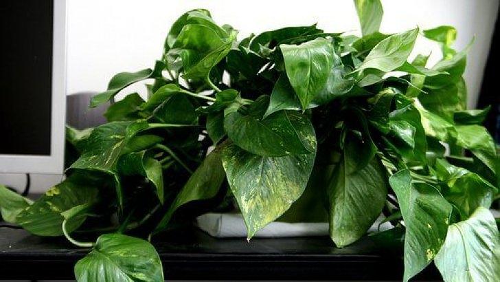 Top 5 plante care sunt recomandate sa fie pastrate in apartament - Top 5 plante care