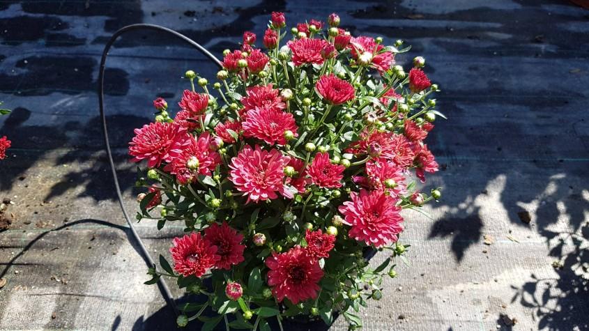 Crizanteme colorate pentru o toamna de poveste  - Crizanteme colorate pentru o toamnă de poveste