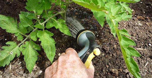 Udarea plantelor la radacina - Sfaturi pentru îngrijirea grădinii pe vreme caniculară