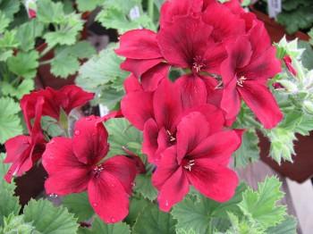Muscate - Flori si plante la ghiveci