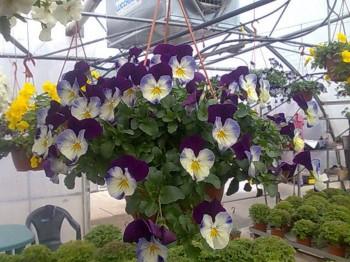 Panselute curgatoare - Flori si plante la ghiveci