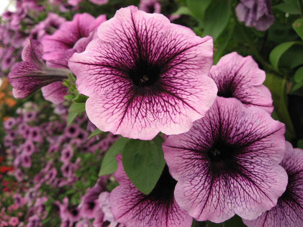 Petunii - Flori si plante la ghiveci