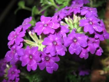 Verbena - Flori si plante la ghiveci