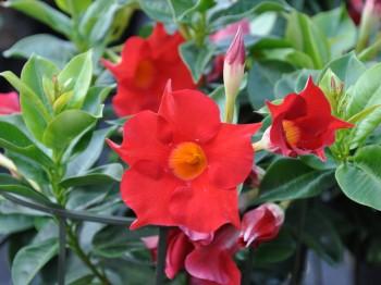 Mandevilla - Flori si plante la ghiveci