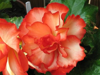 Begonie - Flori si plante la ghiveci