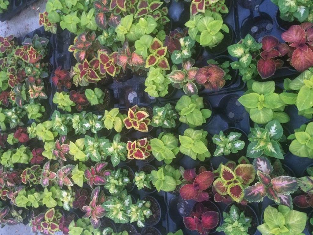 Coleus - Flori si plante la ghiveci