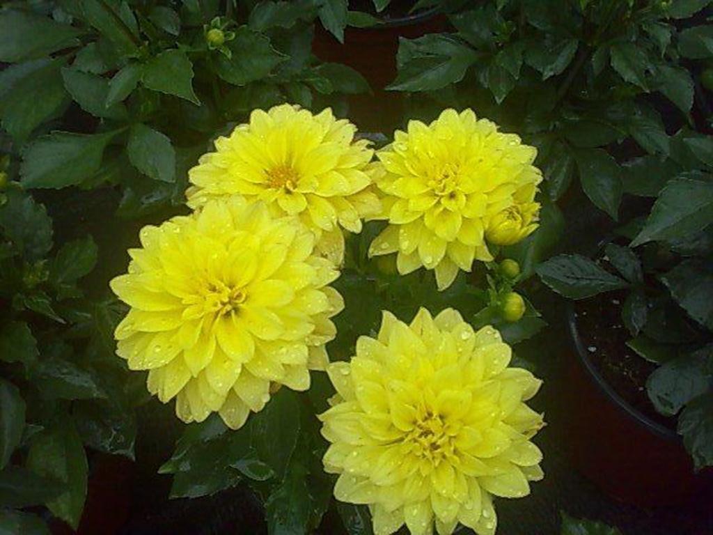 Dalii - Flori si plante la ghiveci