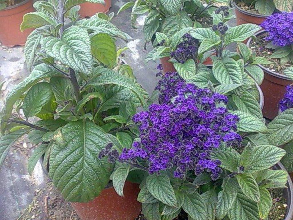Heliotrope - Flori si plante la ghiveci
