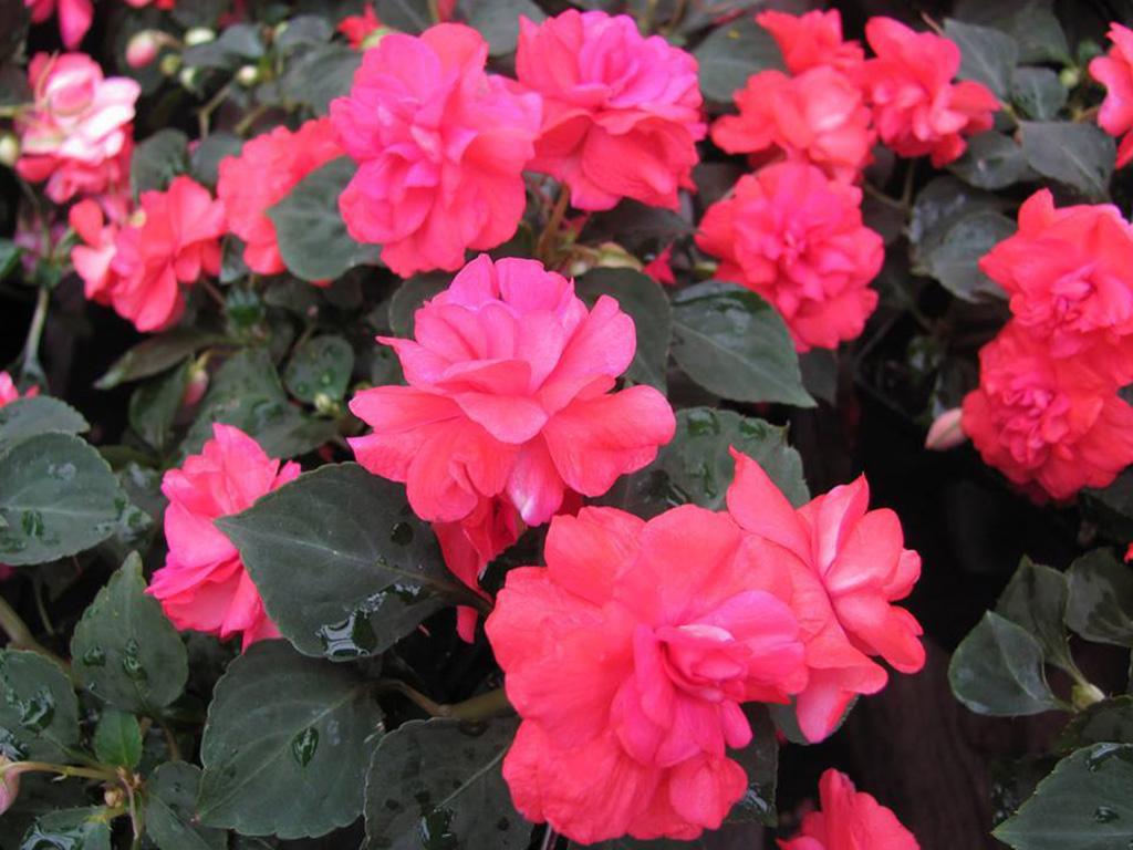 Impatiens - Flori si plante la ghiveci
