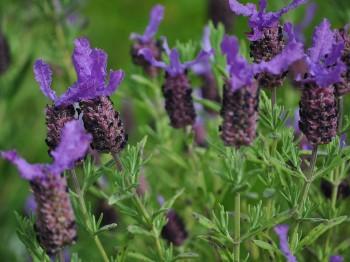 Levantica - Flori si plante la ghiveci